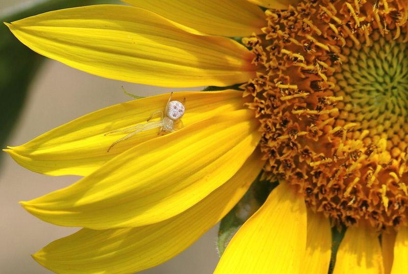 SunflowerEM2SpiderCrop_4237