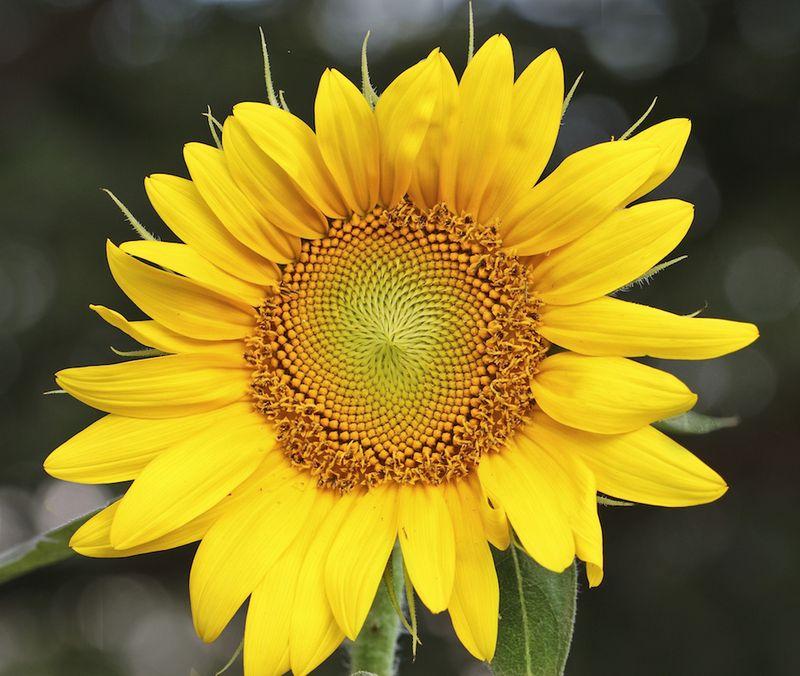 SunEM2flower7DJuly4_4578