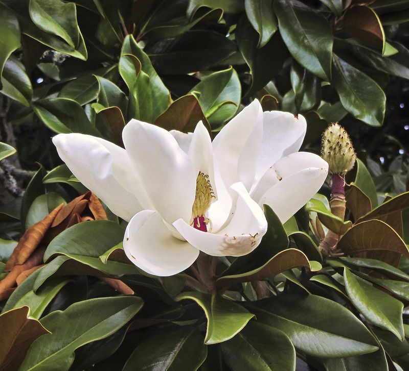 MagnoliaEM4Bloom_9310