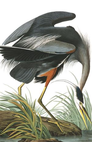 GreatBlueHeron-Audubon
