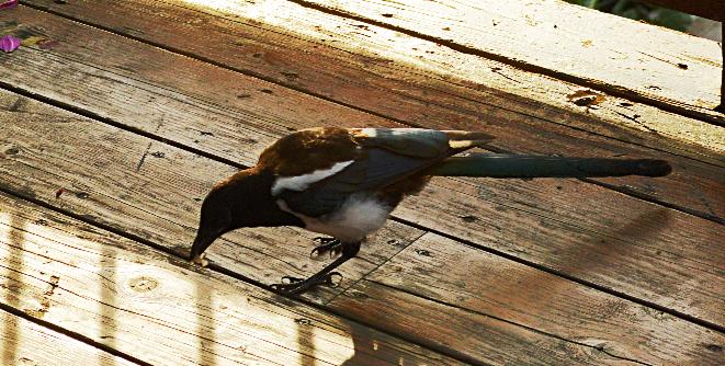Black-billed Magpie copy