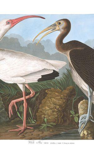 Plate-222,-White-Ibis-final