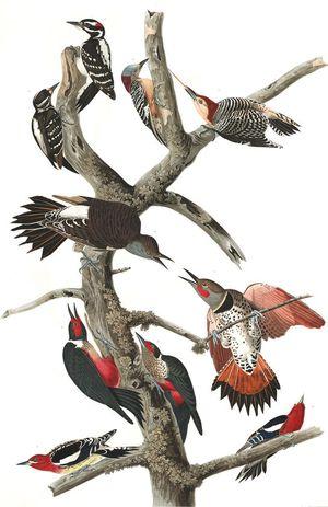 Woodpeckers-Audubon