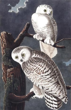 Plate-121-snowy-owl-569