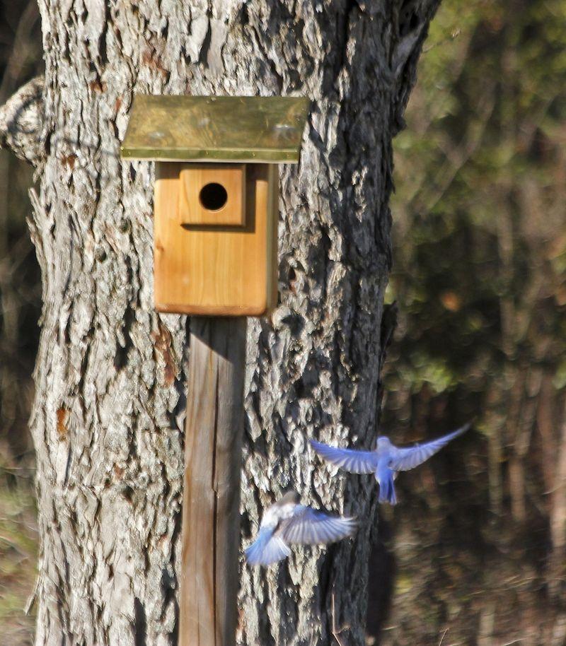 BluebirdEM3PairHouse_4515