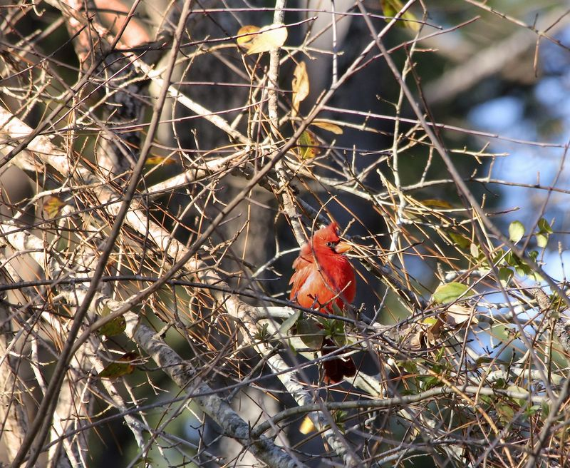 CardinalEM3CropWindRange_4586 copy