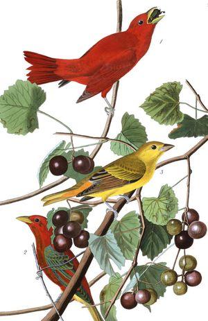 Plate-44,-Summer-Red-Bird-final