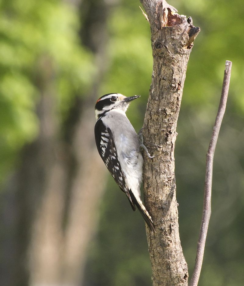 DownyEM4CropWoodpecker_6459