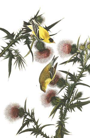 Plate-33-american-goldfinch-final_0
