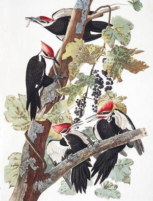 Plate-111-Pileated-Woodpecker-(619)-Edit
