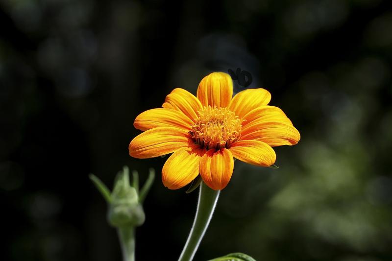 SunflowerEM4OrangeSun_7000