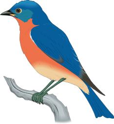 74-Eastern_Bluebird__Sialia_sialis