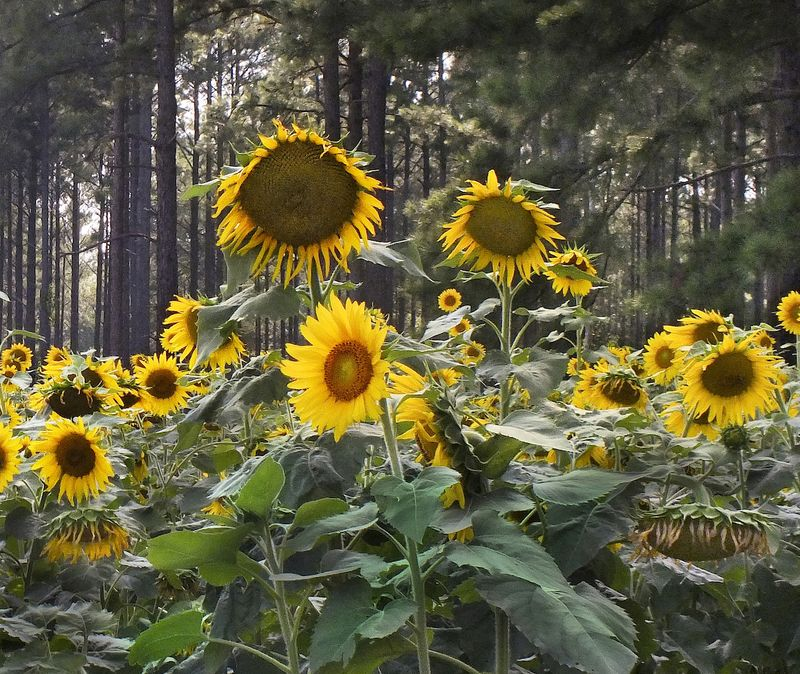 SunEM5flowersFieldFuji_1973