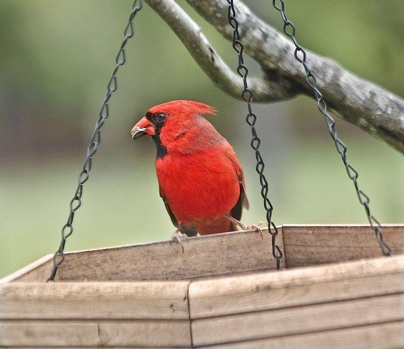 CardinalEM2CropFeederOct_0555