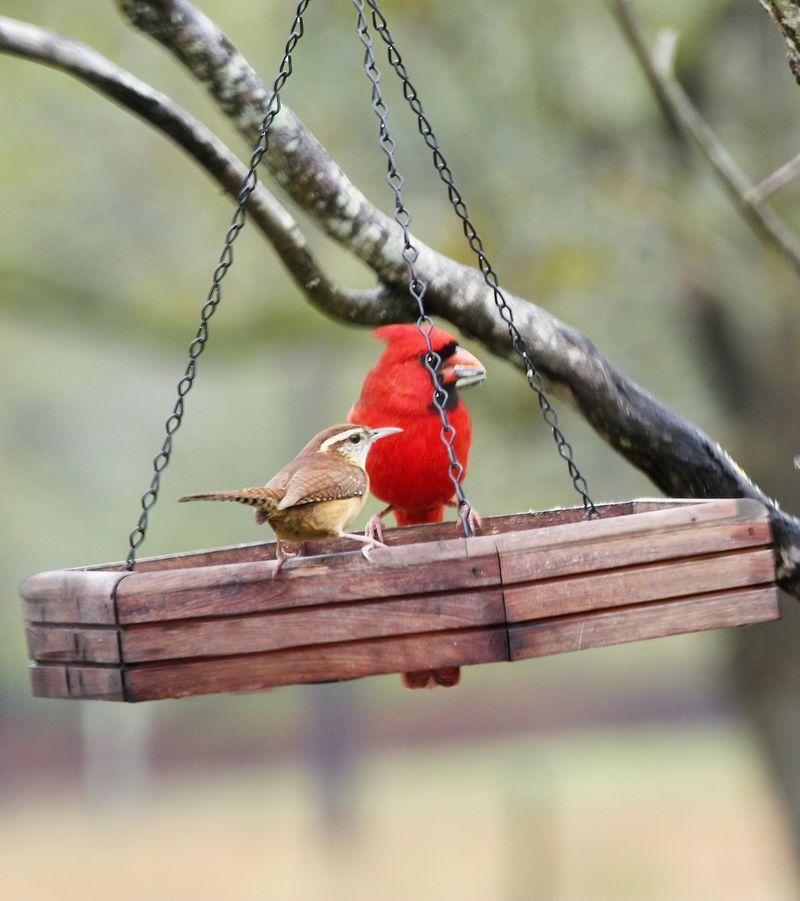 CardinalEM2CarolinaWren_0436