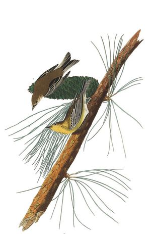 Plate-140-pine-creeping-warbler-final