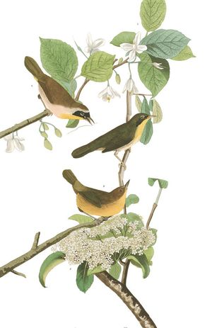 Plate-23-yellow-breasted-warbler-final