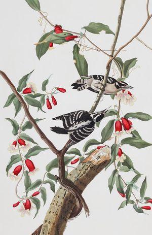 Plate-112-downy-woodpecker-494
