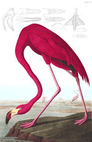 AmericanFlamingo-Audubon
