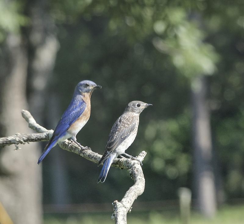 BluebirdsEM3AdultJuv_4455