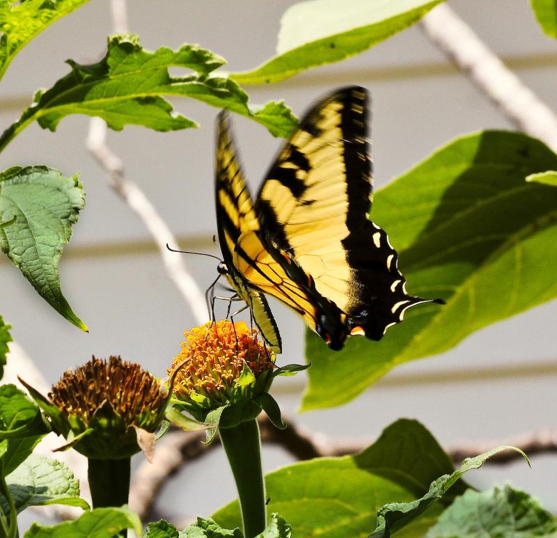 Butterfly5EMCrop_4729_1