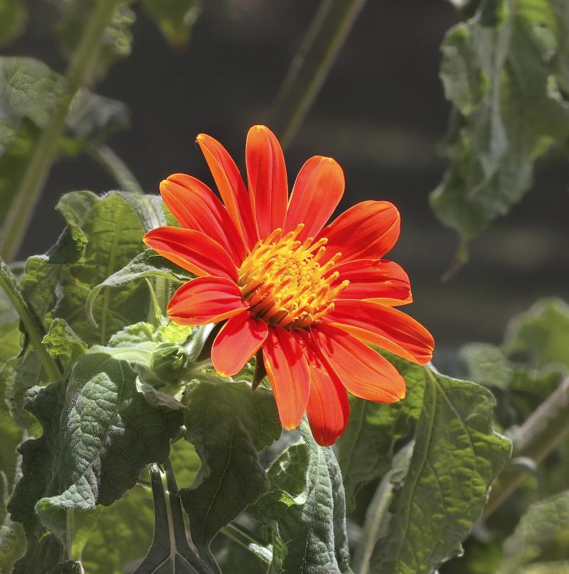 RedSunflowerEM5_7248_1