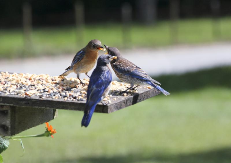 BluebirdsEM3ThreeEating_5051
