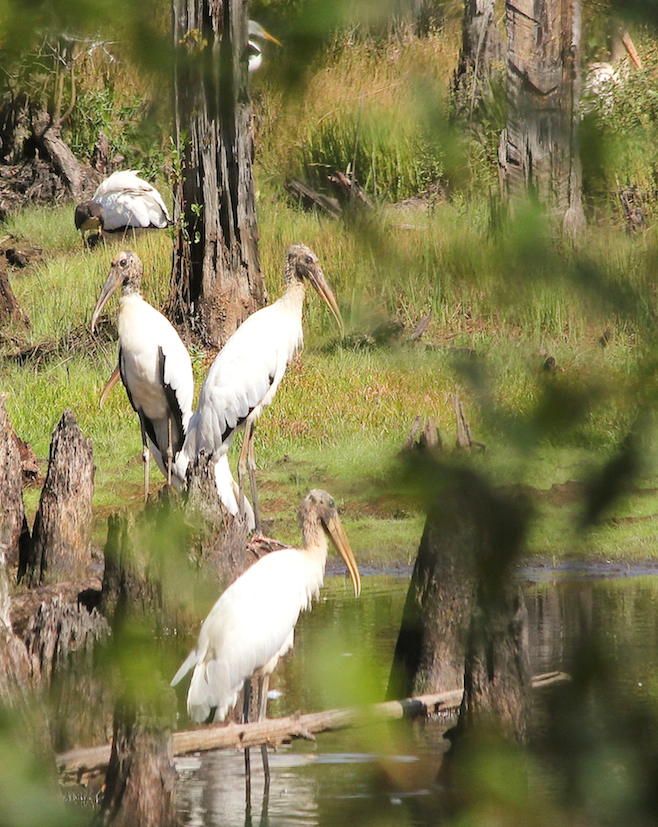 WoodStork-CROP