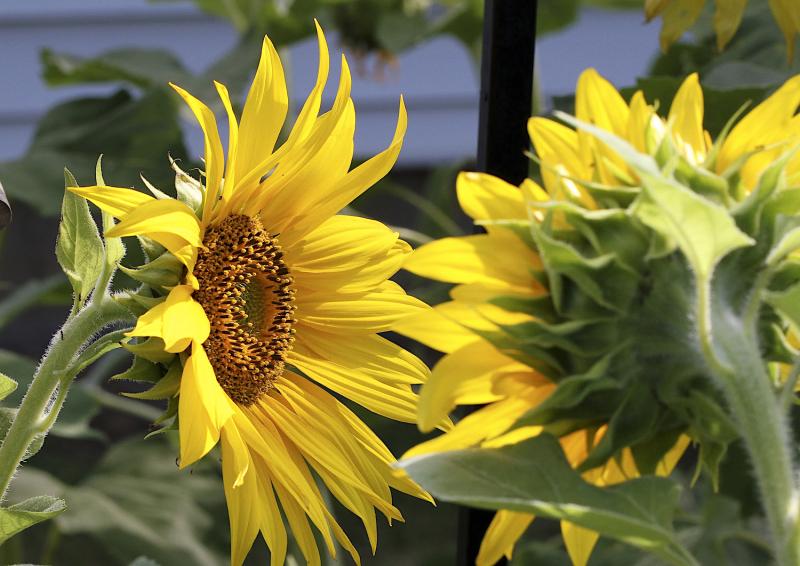 SunflowerEM2PairCrop_8008